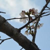 はなさんぽ通信「静岡で桜開花」