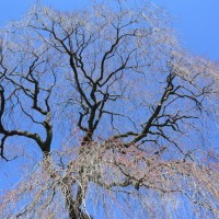 栃沢の枝垂れ桜と龍珠院の大カヤ(静岡市)