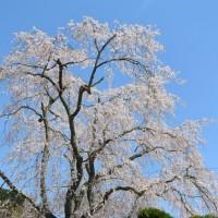 八十岡の枝垂れ桜と足久保さくらまつり(静岡市)