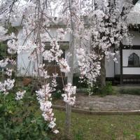 はなさんぽ通信「伊豆の国市龍源院の枝垂れ桜が満開」