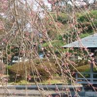 はなさんぽ通信「城北公園の枝垂れ桜」見頃はもうすぐです。