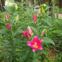 秩父宮記念公園 百合・紫陽花・アフリカンマリーゴールド(御殿場市)