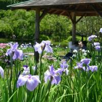 蓮華寺池公園 花菖蒲と紫陽花(藤枝市)