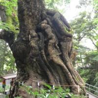 来宮神社の大楠(熱海市)