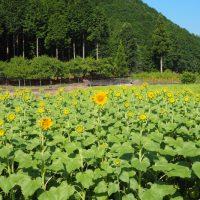 玉川地区・葵区桂山のひまわり畑(静岡市)