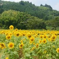 瀬戸谷温泉ゆらく周辺のひまわり畑(藤枝市)