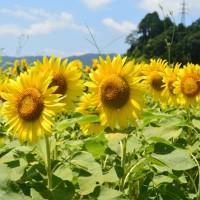 アグリチャレンジパーク蒲原のひまわり畑(静岡市)