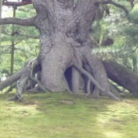 はなさんぽ通信「兼六園の根上松と金沢城の石垣」