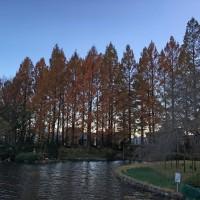 城北公園メタセコイアの紅葉(静岡市)