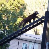 はなさんぽ通信「脱走したレッサーパンダのスミレ無事発見」