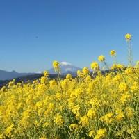 吾妻山公園の菜の花と水仙(神奈川県二宮町)