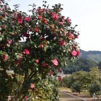 玉露の里椿園(藤枝市)