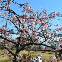興津(清水清見潟公園)の薄寒桜(静岡市)