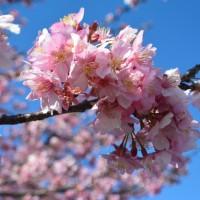 安倍川堤防沿いの美和桜(静岡市)