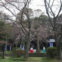 はなさんぽ通信「島根の春を楽しむ(1)出雲大社の桜と松」