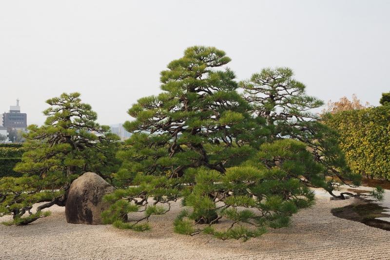 はなさんぽ通信「島根の春を楽しむ(3)皆美館庭園の青松」