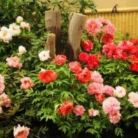 はなさんぽ通信「島根の春を楽しむ(4)由志園の牡丹」