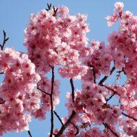 靜岡県護国神社の陽光桜(静岡市)