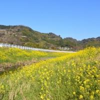 麻機遊水地・巴川堤の菜の花(セイヨウカラシナ)静岡市
