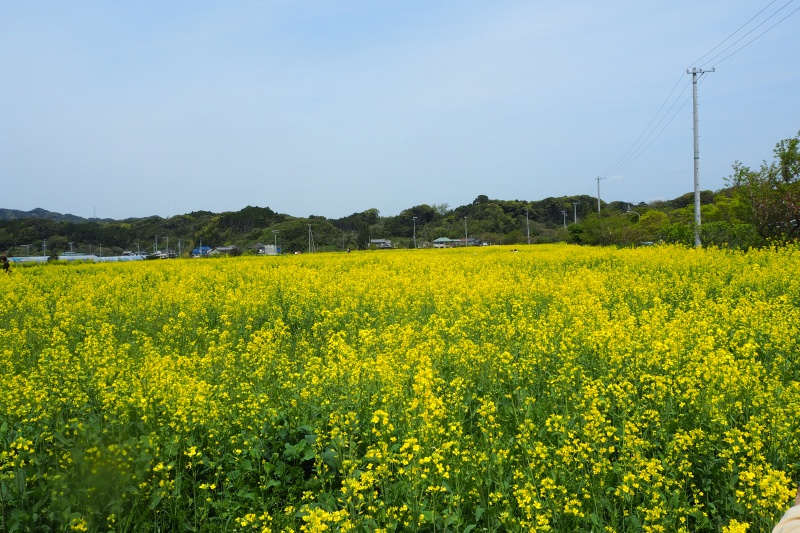 掛川市文化会館シオーネ西側「そよかぜ広場」の菜の花(掛川市)