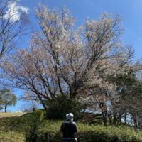 蓮華寺池公園の桜とシャクナゲ(藤枝市)