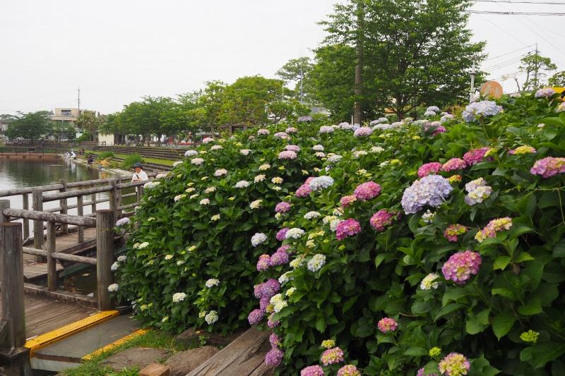 小鹿公園の紫陽花(静岡市)