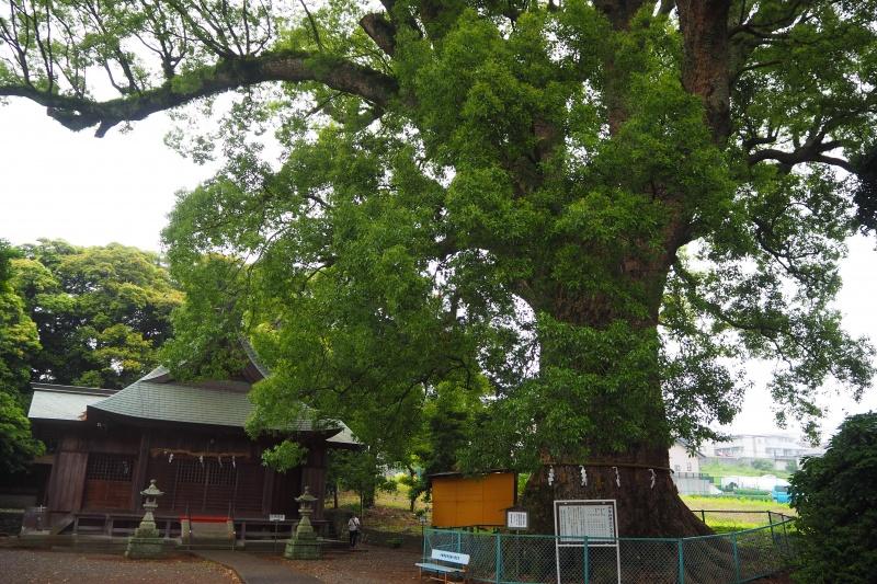 伊勢神明社(小鹿神明社)の大クス(静岡市)