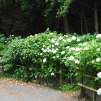 はなさんぽ通信「井宮神社の紫陽花と薩摩土手を歩く」