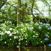 はなさんぽ通信「城北公園の紫陽花」