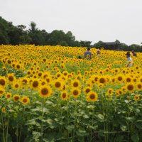 浜名湖ガーデンパークのひまわり(浜松市)