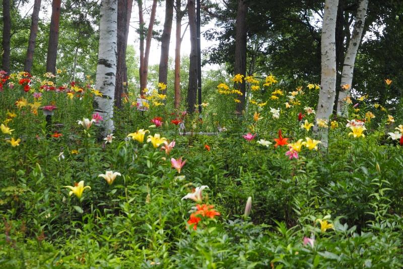 富士見高原花の里 白樺林の百合と夏の花(長野県富士見町)