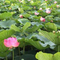 麻機遊水地のハスの花(静岡市)
