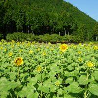 はなさんぽ通信「桂山のひまわり畑」の開花の様子と入り方