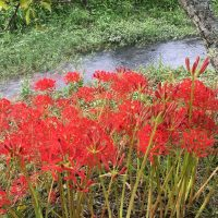オクシズ・油山川の彼岸花(静岡市)