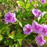 はなさんぽ通信「沖縄の花」