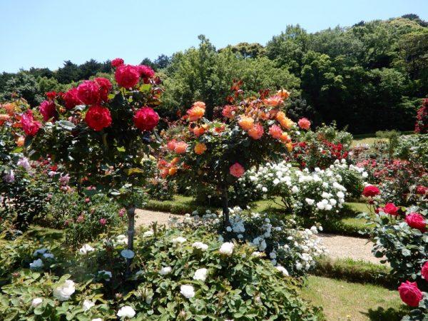 河津バガテル公園のバラ(河津町)