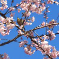 朝日山城跡展望台(朝日稲荷神社)の河津桜(藤枝市)