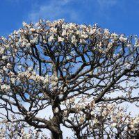 駿府城公園 紅葉山庭園の梅林(静岡市)