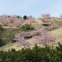 由比八千代の河津桜(静岡市)