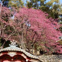 久能山東照宮の寒緋桜(静岡市)