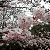 伊豆高原おおかん桜(伊東市)