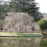 はなさんぽ通信「2017年城北公園の枝垂れ桜もうすぐ」