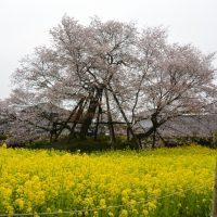 はなさんぽ通信「さくら開花情報(ソメイヨシノ等)」静岡県さくらの会