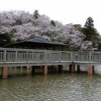 清水船越堤公園の桜(静岡市清水区)