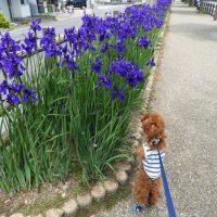 小鹿公園のアヤメ(静岡市)