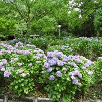 秋葉公園の紫陽花(牧之原市)