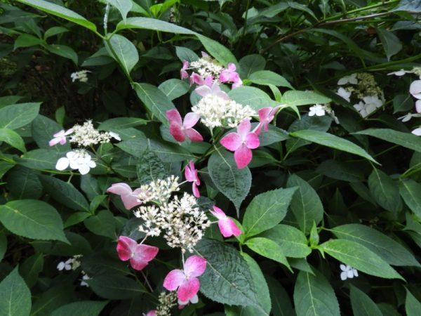 ニューヨークランプミュージアム&フラワーガーデン(旧・伊豆四季の花公園)の紫陽花(伊東市)