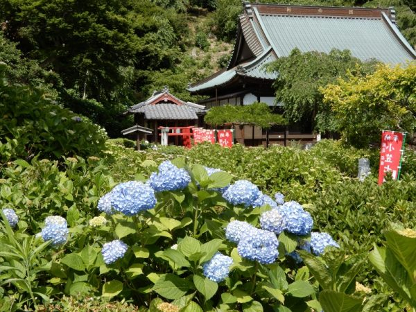 本勝寺の紫陽花(掛川市)