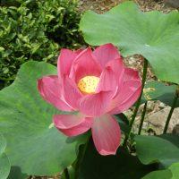 駿河区丸子のハスの花(静岡市)