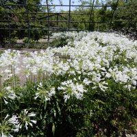はなさんぽ通信「浜名湖ガーデンパーク夏の花」